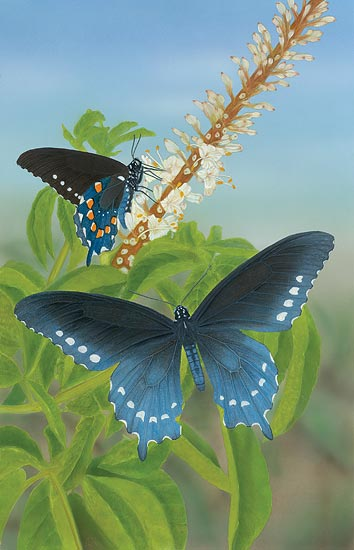 Pipevine Swallowtail Cho Collection