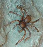 Male Tarantula (2005) -