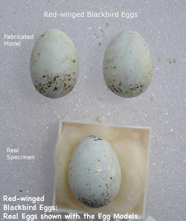 BirdEggs13_text.jpg
