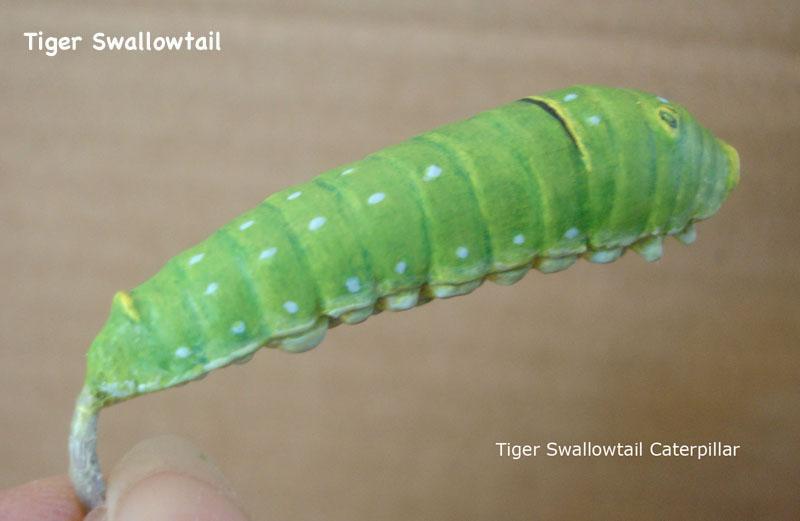 Caterpillars21_text.jpg