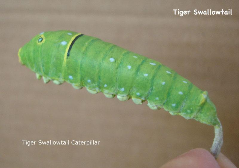 Caterpillars22_text.jpg