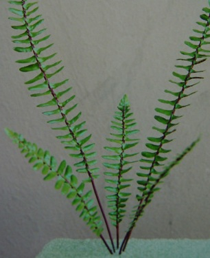FERNS - Spleenwort Fern