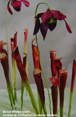 CARNIVOROUS - Sweet Pitcher Plant