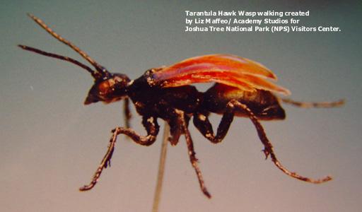 Hawkwasp_wmodel1-text.jpg