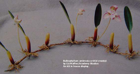 Bulbophyllum_model1-tx.jpg