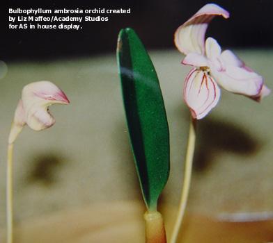 Bulbophyllum_model2-tx.jpg