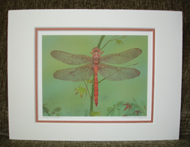 "Small double matte print of Akitsushima (Isle Of The Dragonfly) ""Orange Shadowdragon""."