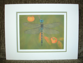 "Small double matte print of Akitsushima (Isle Of The Dragonfly) ""Blue-Eyed Darner""."