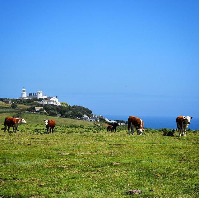 Cows 🐮  #cornwall #lizardpoint #cornishcoast #visitcornwall #explorecornwall #thisprettyengland #lovecornwall #instabritain #capturingbritain #latergram #lastpostfromthistripipromise