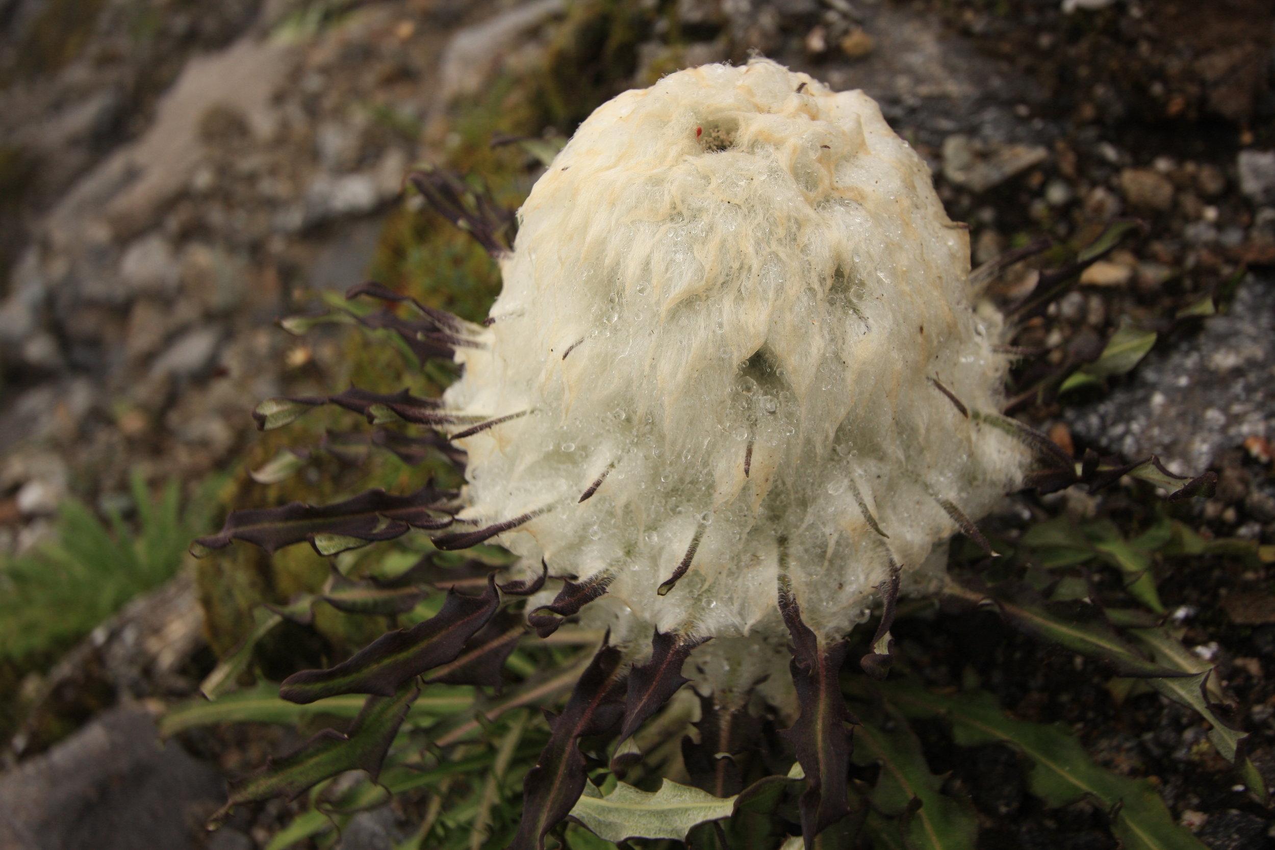 Saussarea gossipyphora