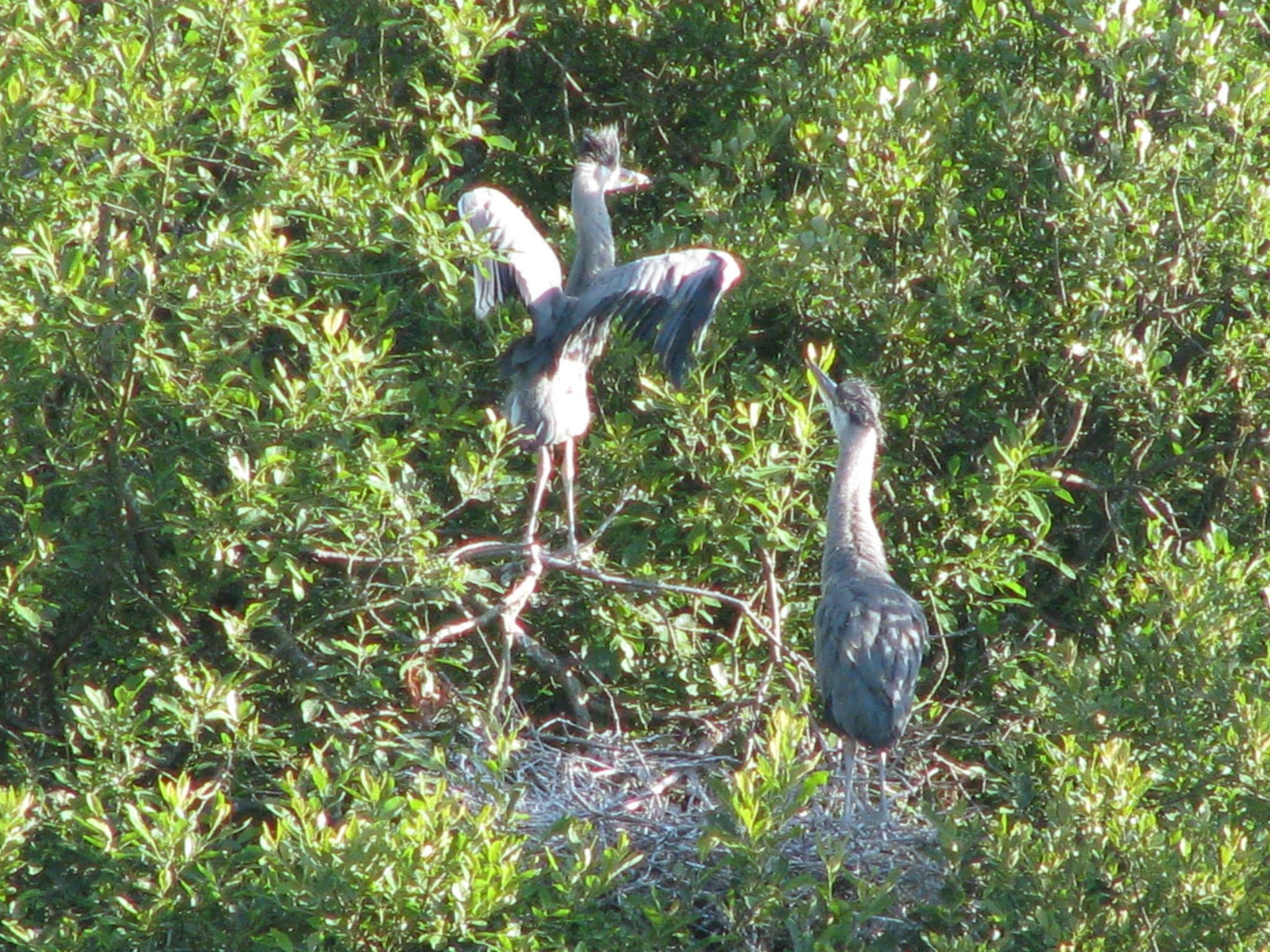 Our Heronry.