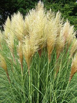Pumila Pampas Grass