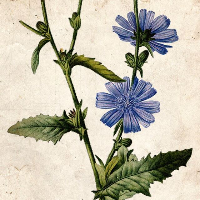 FRUITBELT BOTANICALS | Chicory Root⠀ ⠀ Our proprietary blend of Orchard Bitters features chicory root— a flowering plant in the dandelion family that is characterized by a tough, hairy stem, light purple flowers, and leaves. They are planted in orchards to perform the function of 'Accumulators', or plant species that increase the nutrient content of the soil. Their deep roots bring up nutrients like calcium, sulfur, and potassium, lessening the need for added fertilizers throughout the growing season.⠀ ⠀ The roasted root has long been used as a substitute for coffee in times of shortage, but is now found in many parts of the world as a caffeine-free alternative to regular coffee. Beyond its unique flavor profile, chicory root has been linked to increased weight loss and improved gut health due to its inulin content— a type of prebiotic fiber.