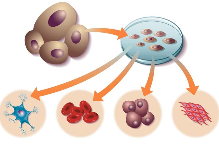 Stamceller som blir til forskjellig vev.