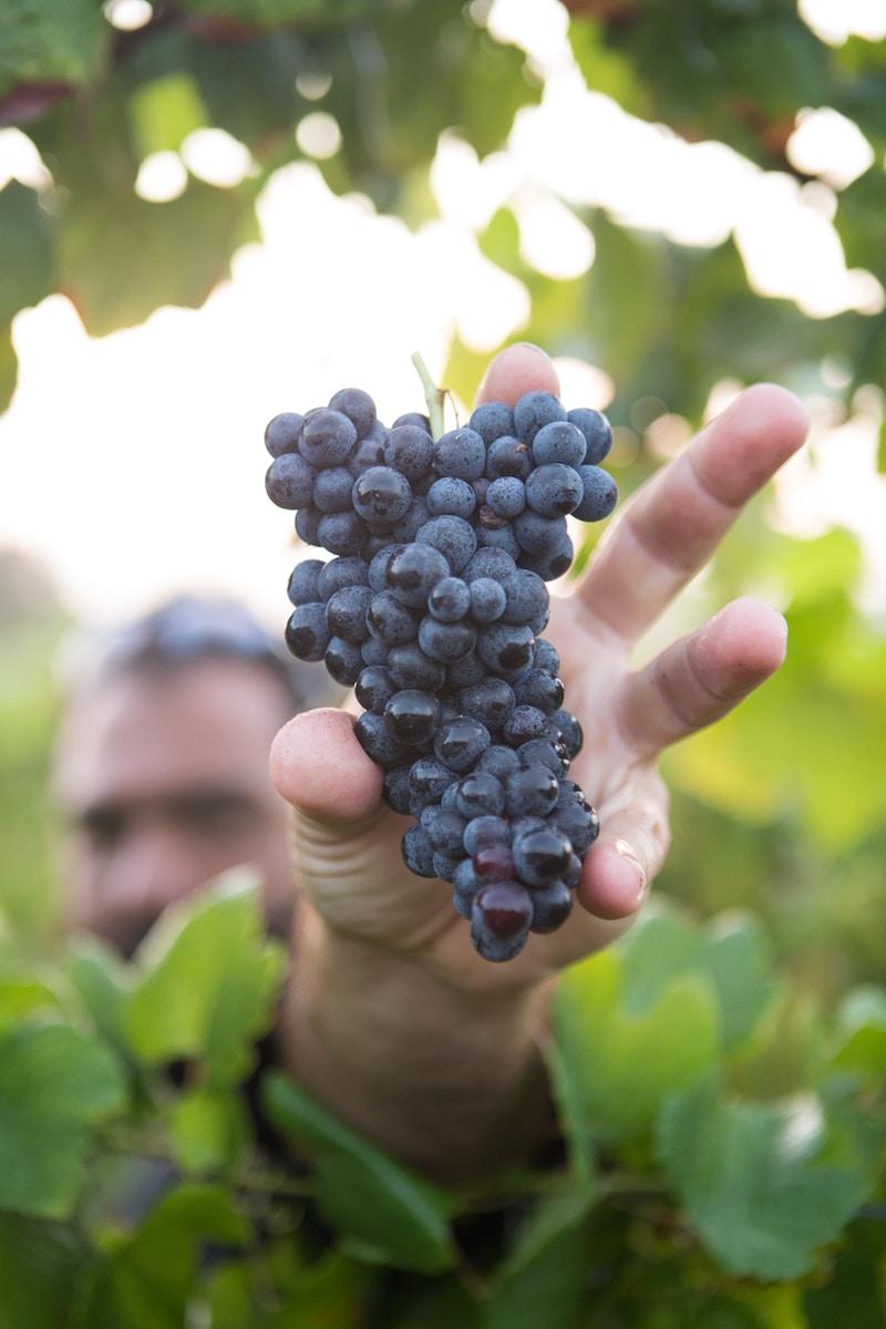 PIC-8- Picking grapes.jpg