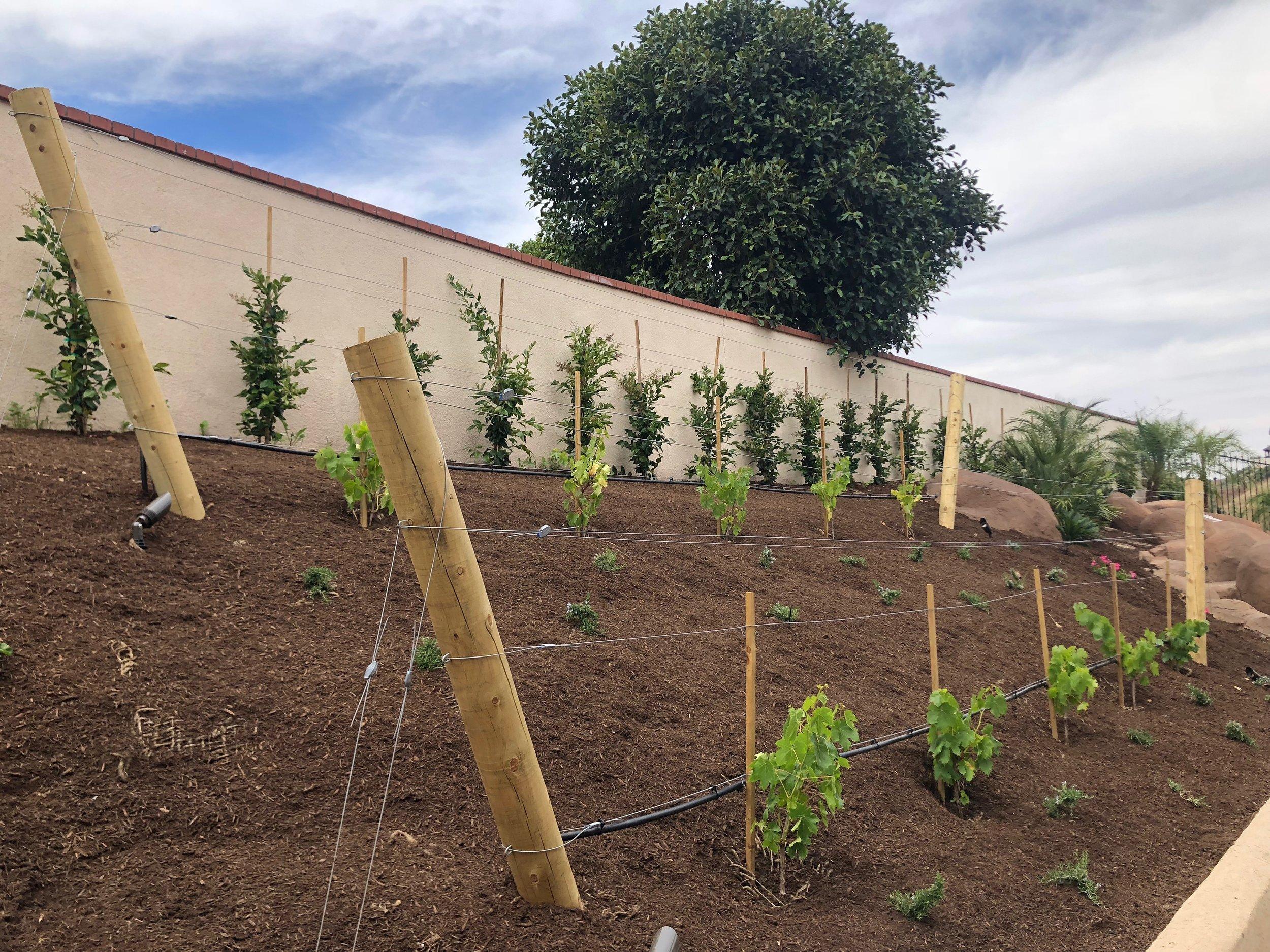 Orange County Home Vineyard with Trellis