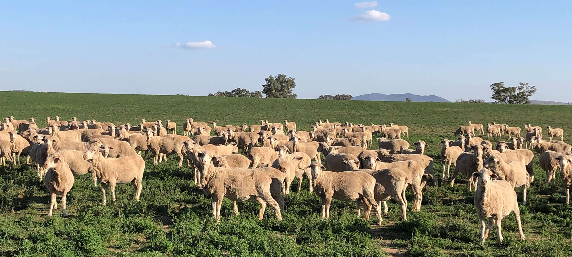 sheep-grazing.jpg