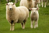 10883960-mother-sheep-and-her-lamb1.jpg