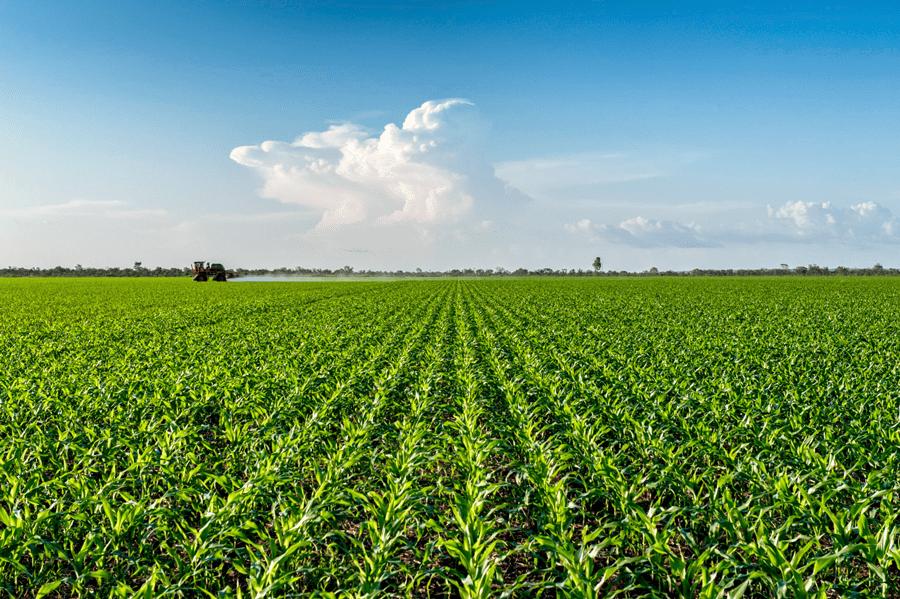 Corn crop, Minas Gerais, Brazil