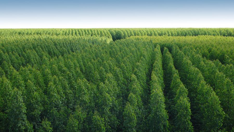 Produção de eucaliptos, Minas Gerais