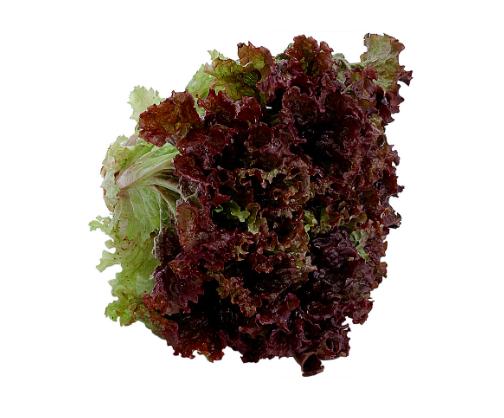 Red Leaf Lettuce -