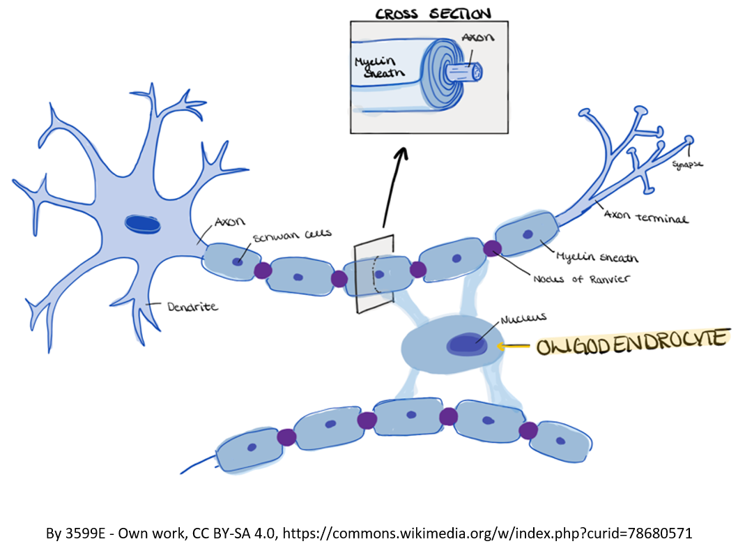 Figure 1. Myelin is produced by cells in the brain called oligodendrocytes that myelinate the axons, which are projections of nerve cells.  The cell membrane on the outside of an oligodendrocyte wraps around the axons of several nerve cells. Cell membranes of other oligodendrocytes also wrap the axon until there are sheaths of myelin covering the axons of each nerve cell. The myelin sheaths provides insulation for axons so that nerve impulses can be transmitted rapidly from neuron to neuron without leaking out. This is similar to how we use insulation on electric cords.