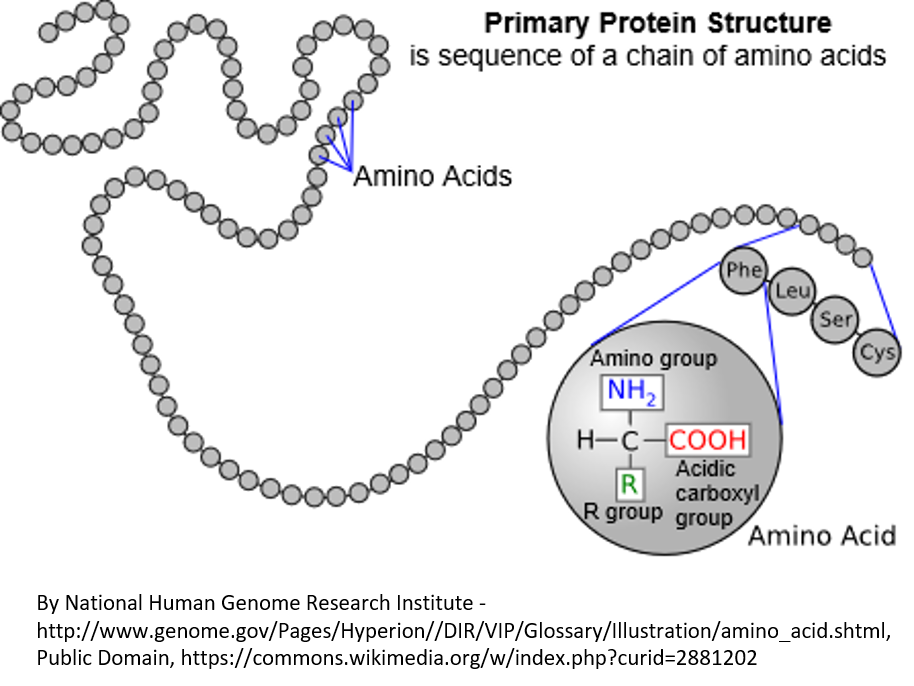 Figure 3. Proteins, which are coded by DNA, are made of a linear string of amino acids . In this diagram, the amino acids are represented by circles. There are 20 amino acids that can be used in various combinations to make proteins. In an expanded region of the protein, the amino acids phenylalanine, leucine, serine, and cysteine are shown. The three-letter standard abbreviations for these amino acids is shown in circles. There are also a one-letter standard abbreviations that are sometimes used. In the large circle, you can see the chemical elements that are the same for every amino acid, plus the R group that differs for each of the 20 amino acids and gives them their different properties.