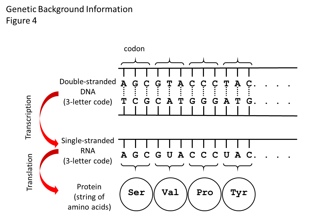 "Figure 4. How the genetic code works.  There is a flow of information from DNA to RNA to protein. The double helix of the DNA shown in this diagram is stretched out flat. Between the two strands of the double helix are the bases that make the 3-letter words (codons) of the genetic code. There are four bases: adenine (A), thymidine (T), cytosine (C), and guanine (G). The bases on the top strand are complementary to the bases on the bottom strand. A on one strand always pairs with T on the other, and C always pairs with G. The bases on one strand are weakly bonded to the bases on the other strand (shown by dashed lines), so that the strands of DNA can be zipped apart and the cellular machine that ""reads"" the DNA code and makes the RNA strand can get to the strand that gets copied. The RNA strand will have the same code as the DNA, except that it uses the base called uracil (U) instead of T. Another cellular machine then ""reads"" the RNA three-letter words one codon at the time and adds the specified amino acids one at the time to the growing protein. The dots mean ""and so on,"" as the code goes on to make a protein with many amino acids, while only 4 are shown here."