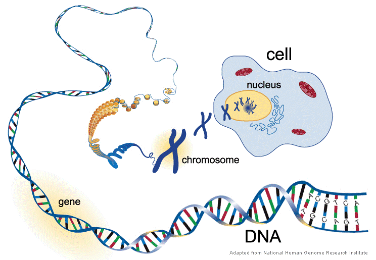 Figure 1. A cell showing nucleus with chromosomes.  The chromosomes are made of the DNA double helix all wound up and held together by proteins (shown in yellow). Between the two strands of the double helix are the bases (or letters A, T, G, and C) that are responsible for the genetic code. The bases on one side of the helix are bonded to the complementary bases on the other side of the helix. A always pairs with T, and G always pairs with C. A gene is a stretch of DNA that codes for a protein.