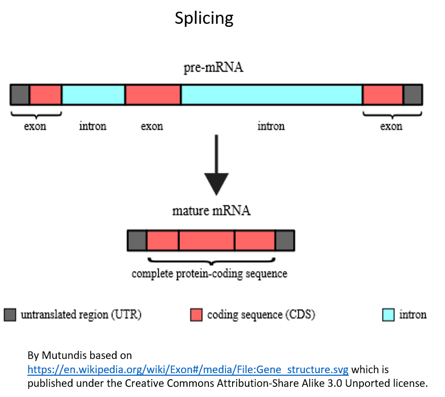 Figure 5. Splicing of the RNA.  Splicing must occur so that only the expressed parts of the RNA (those that code for the protein) remain in the RNA. The introns (shown in blue) are spliced out and the exons (the parts that codes for the protein, shown in red) will remain.