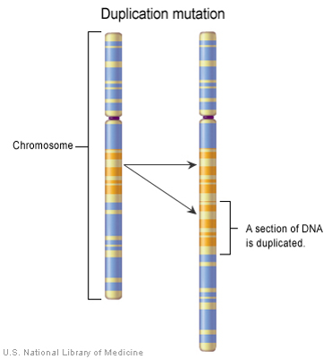 Figure 1. The most common variant causing PMD is duplication.  A duplication occurs when a part of the chromosome is doubled. Duplications can affect many genes in addition to  PLP1 .