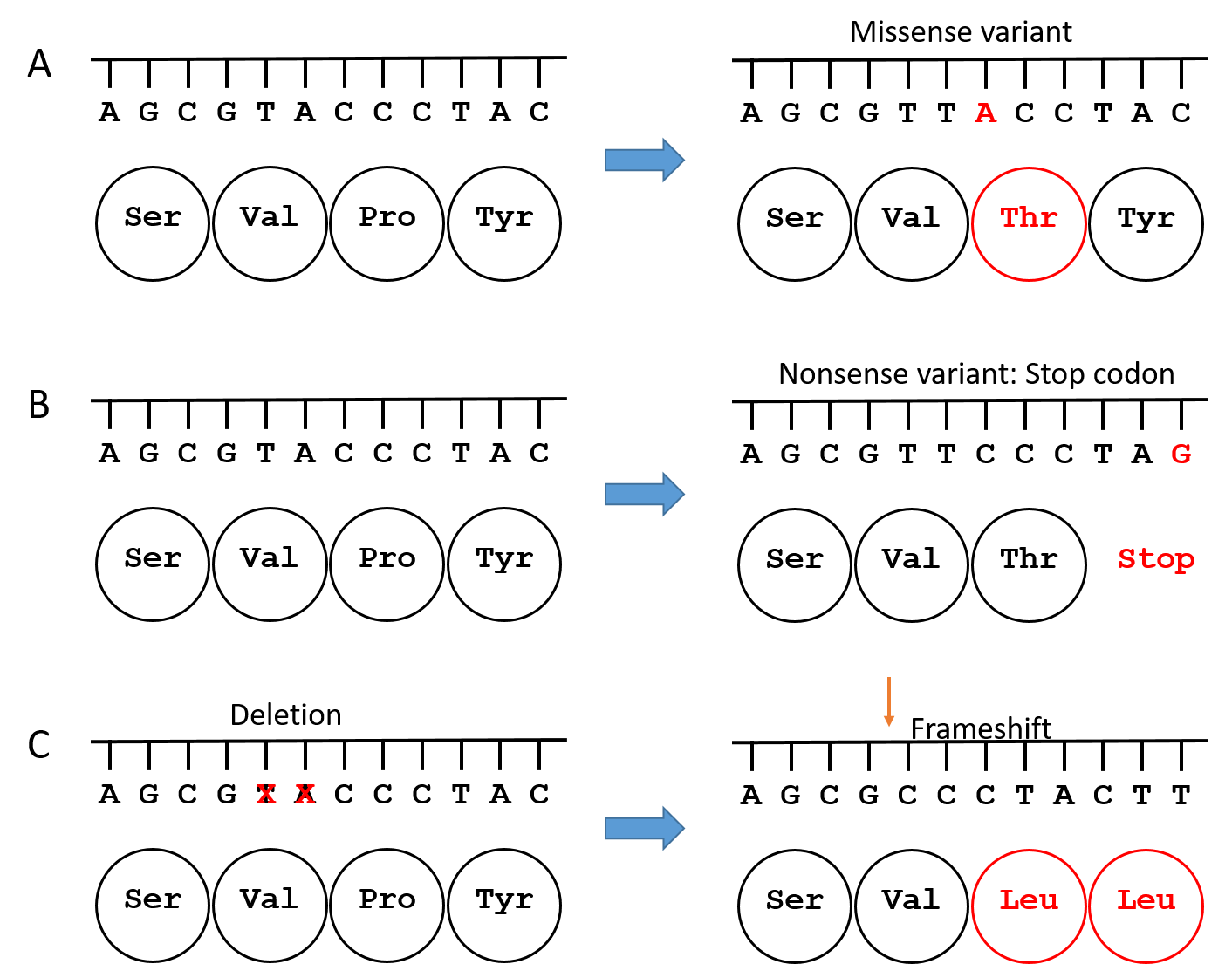Figure 3. Types of variants.  A. A missense variant results in an amino acid change. B. A nonsense variant results in a stop codon and termination of the growing chain of amino acids. C. A deletion or duplication variant of one or several bases (in this case, a deletion of two bases) shifts the reading frame, so the wrong amino acids get added to the protein. What was originally the word GTA coding for Val is shifted to the word GCC, which also codes for Val, but then the next word is CTA coding for Leu rather than CCC coding for Pro. The remaining codons are frame shifted until a stop codon is reached by chance and then the growth of the amino acid chain is terminated. Addition of one or a few bases can have the same result as deletion.