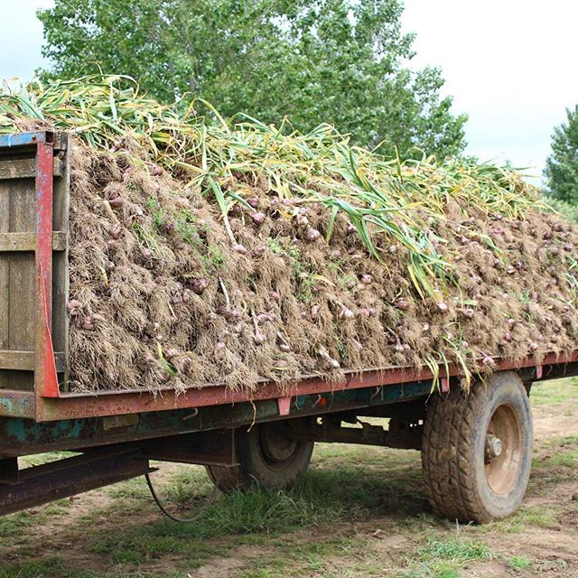 - The Garlic Harvest at Mersley Farm