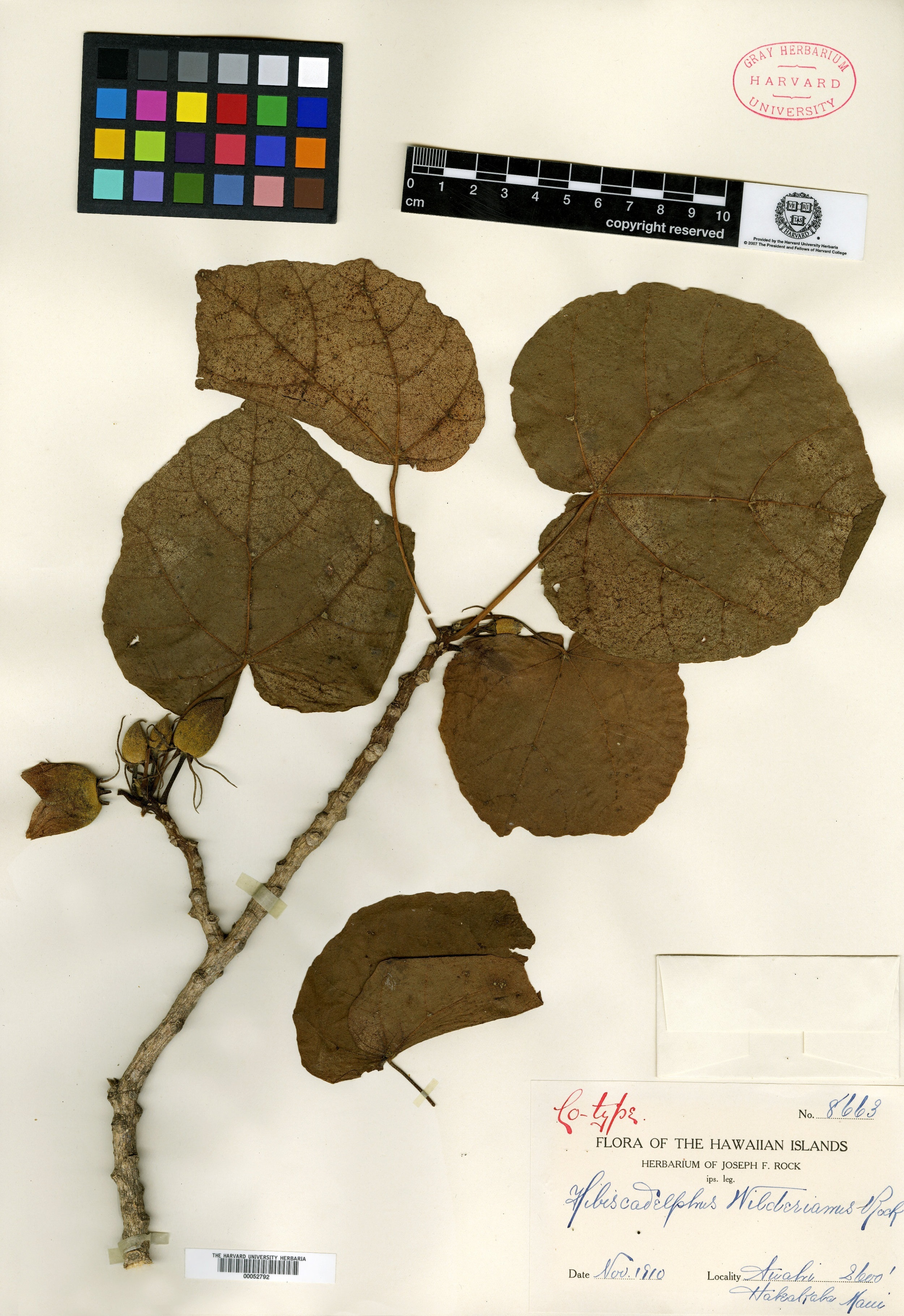 Dried specimen of  Hibiscadelphus wilderianus  Rock, collected by Gerrit P. Wilder on Maui Island, Hawaii in 1910. Courtesy Gray Herbarium of Harvard University.