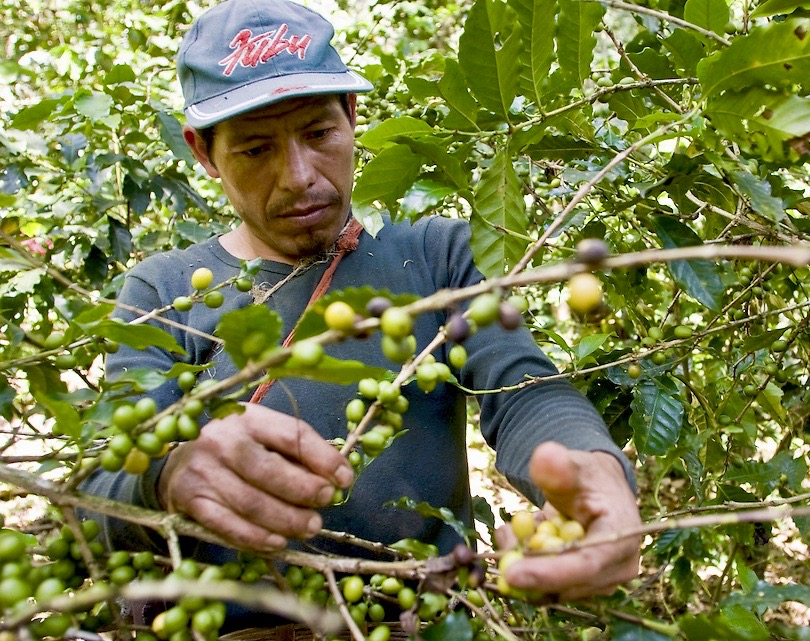 Guatemalan Coffee Worker