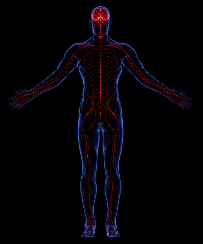 nervous system 1.jpg