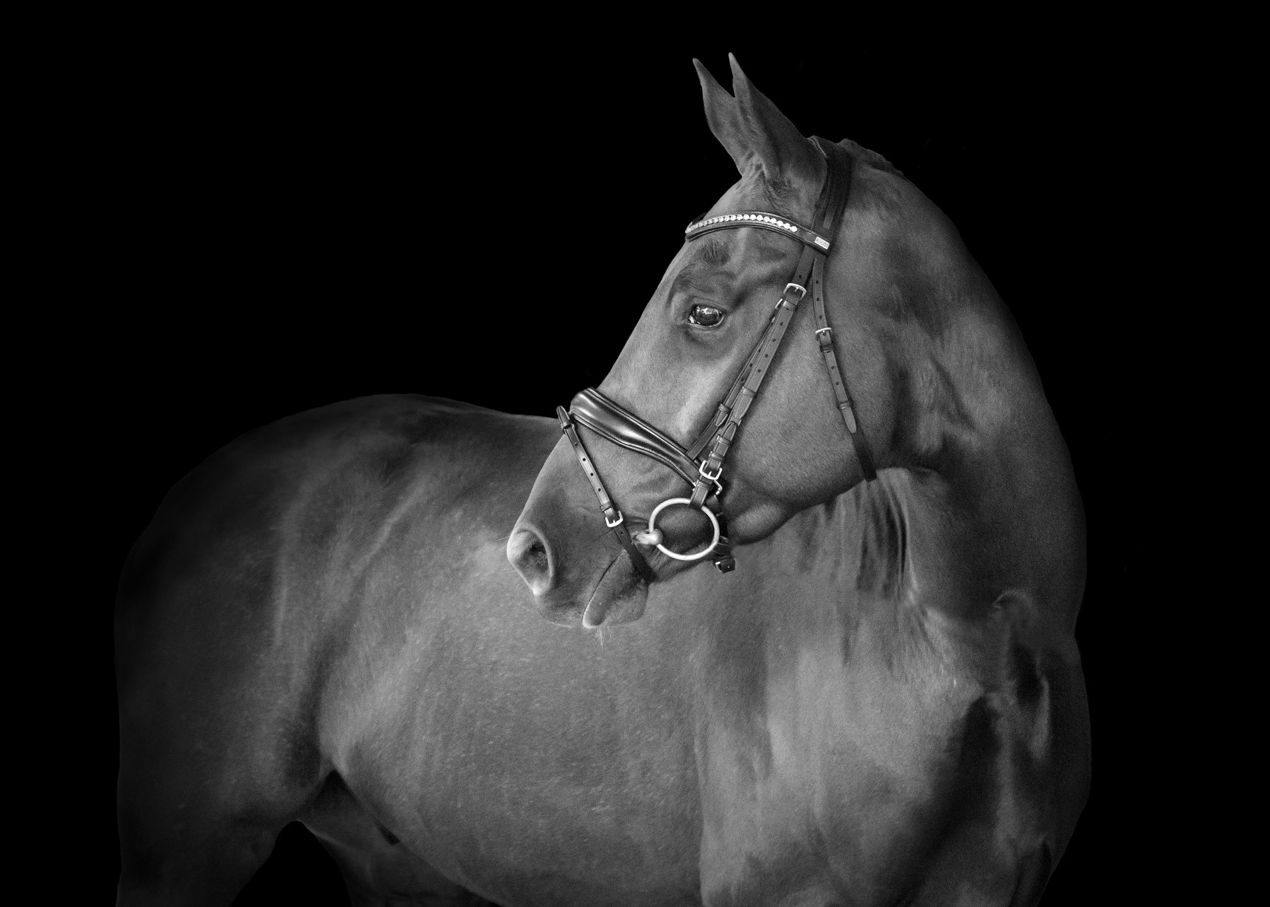 equine-horse-black-background copy.jpg