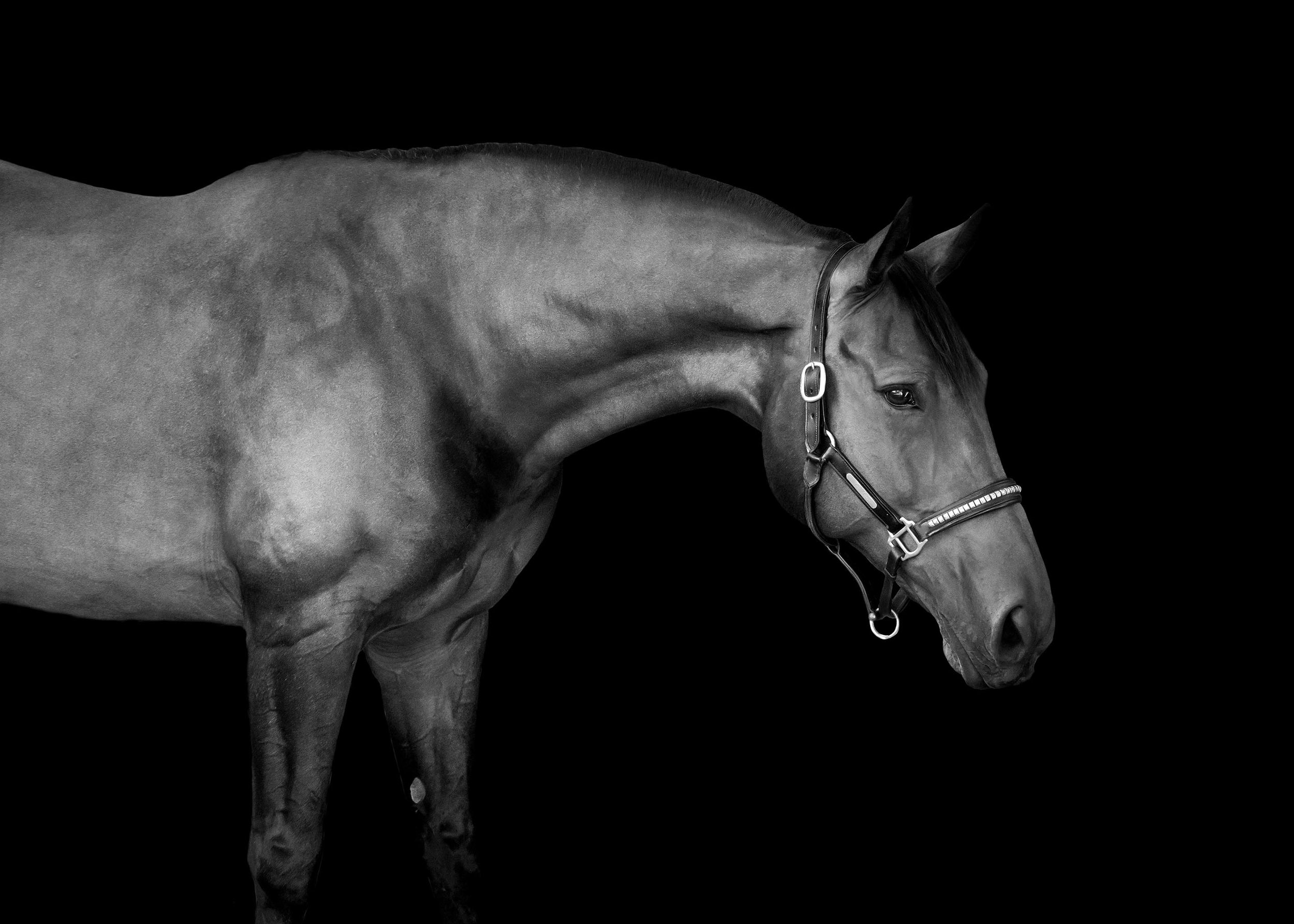Black Background Gallery Sg Horse Portraits