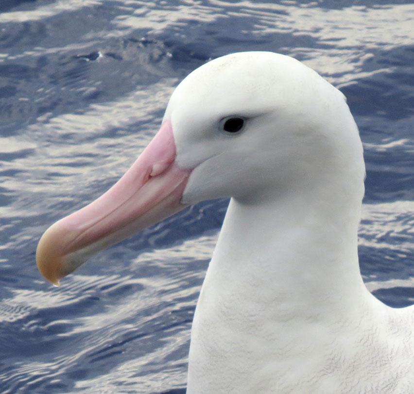 Ali the albatross