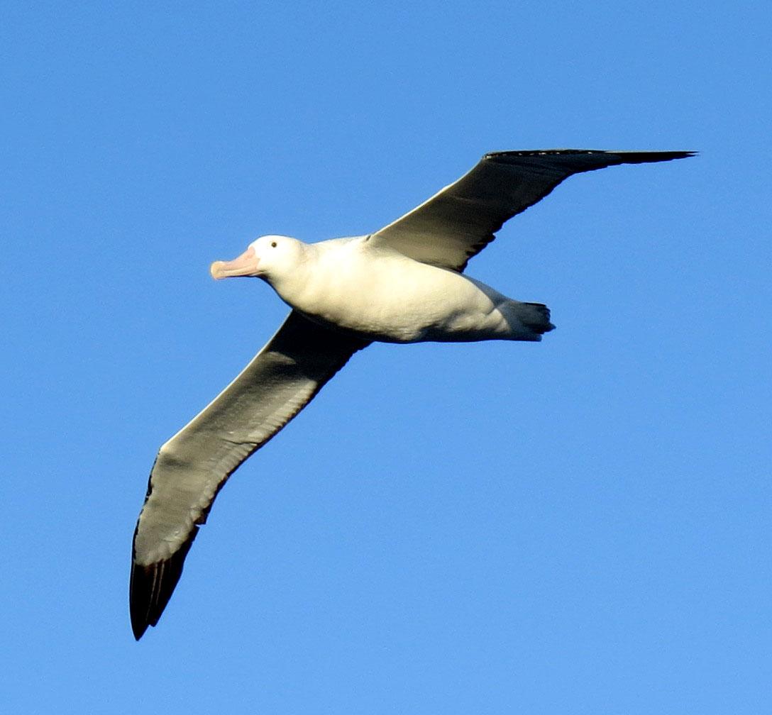 Wandering albatross - mature