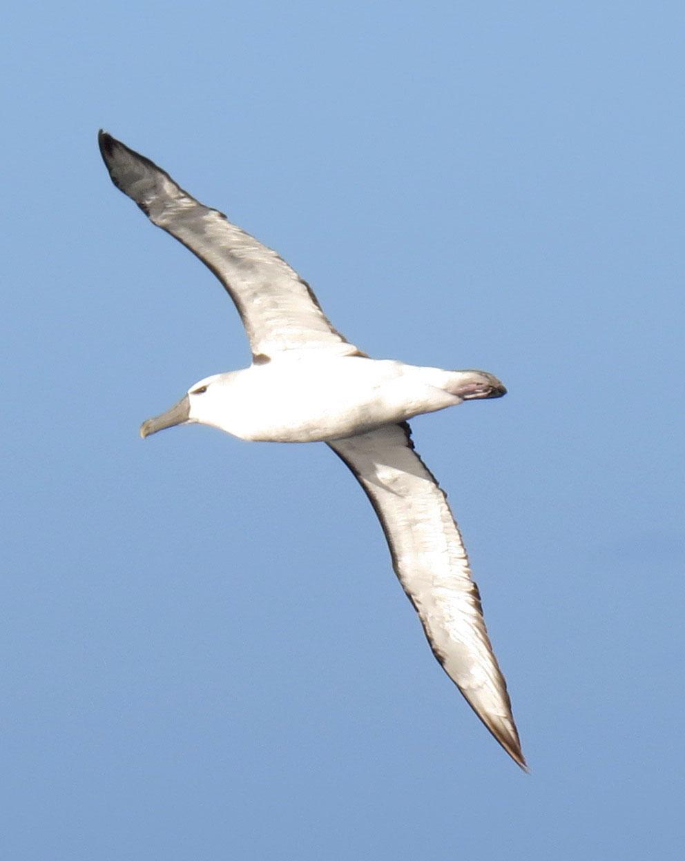 Shy albatross - mature