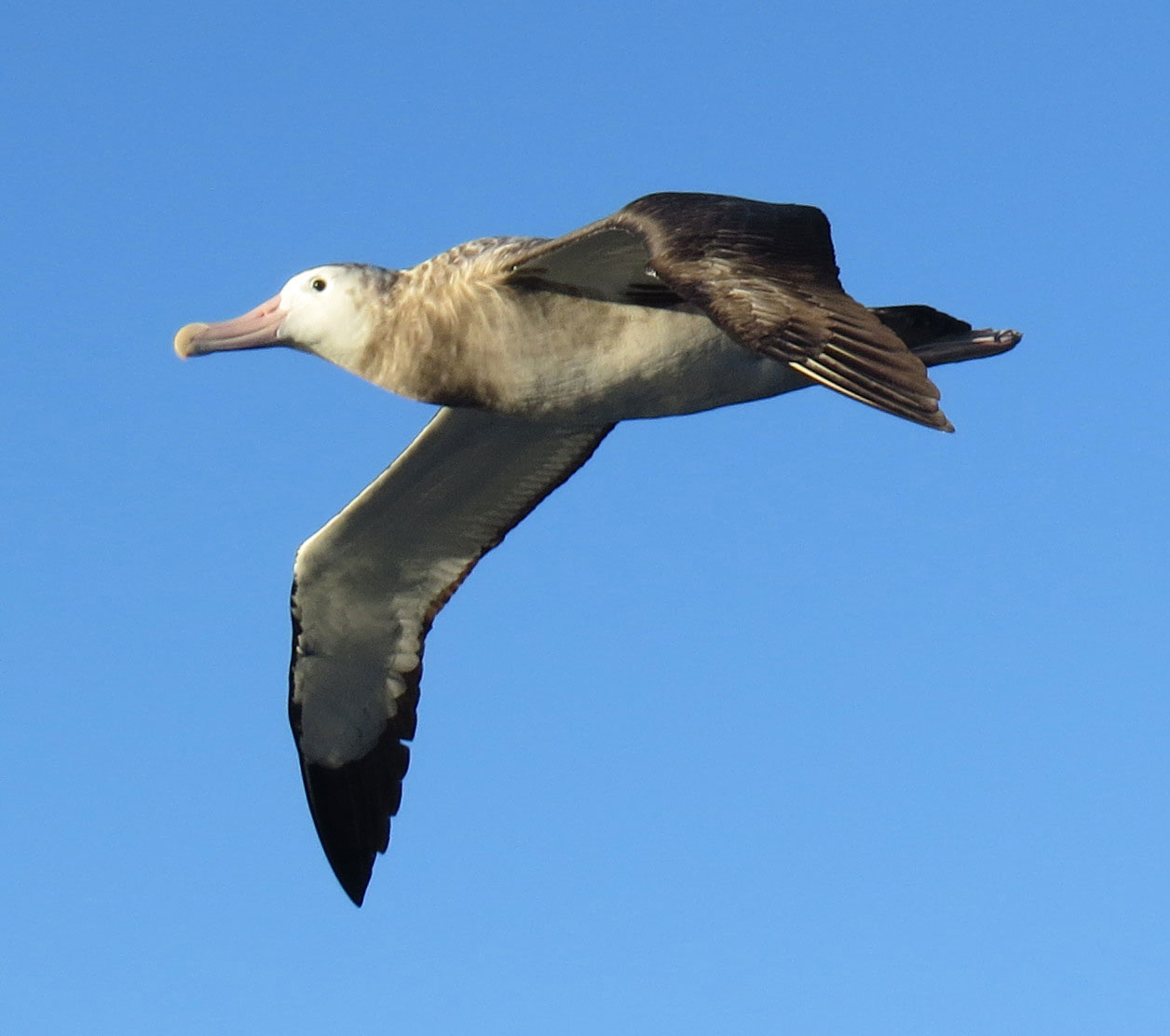 Wandering albatross - juvenile