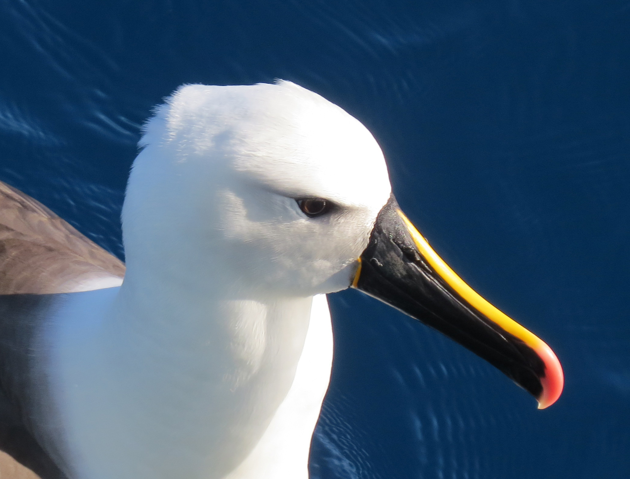 Yellow nosed albatross