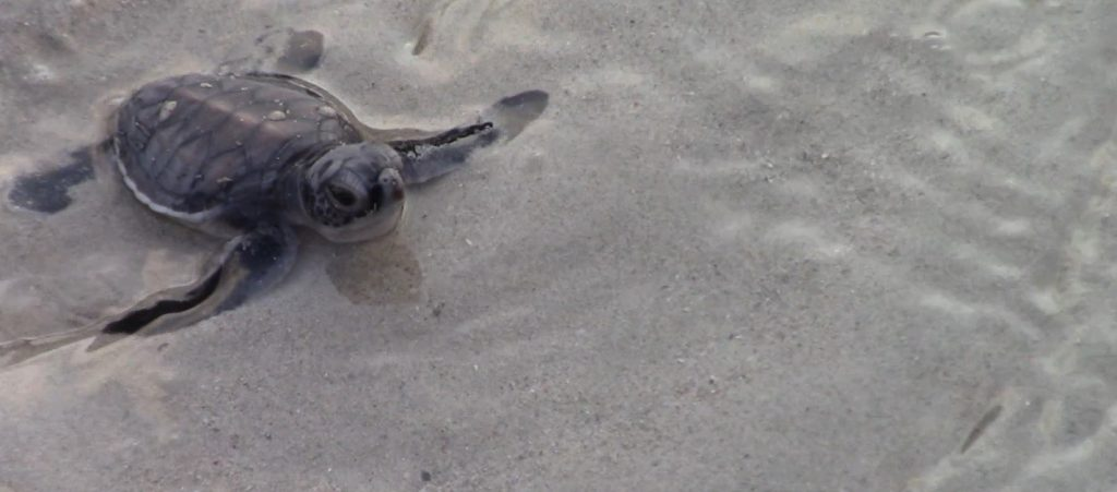 A baby turtle reaching the sea for the first time