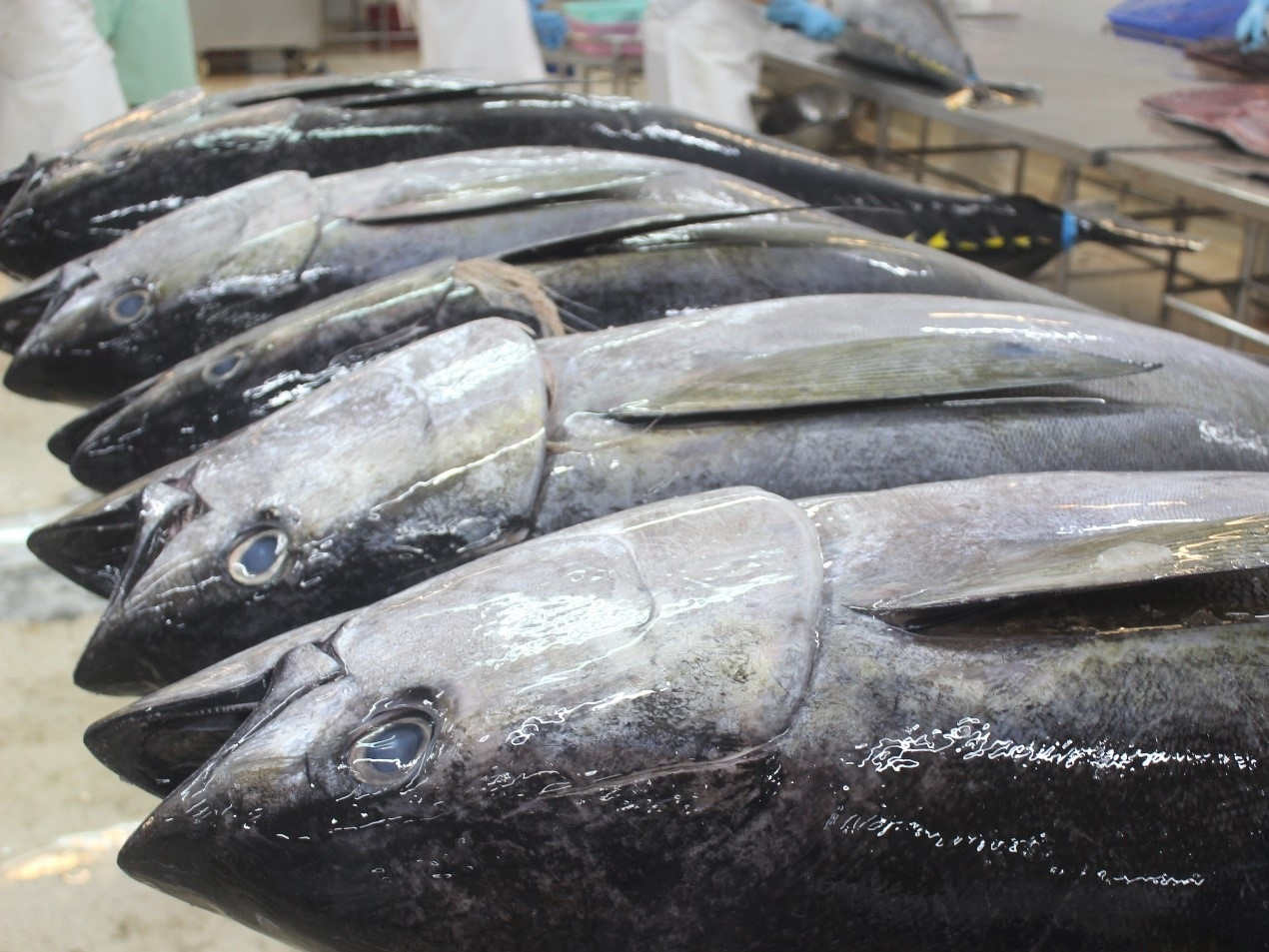 Yellowfin tuna ready for processing