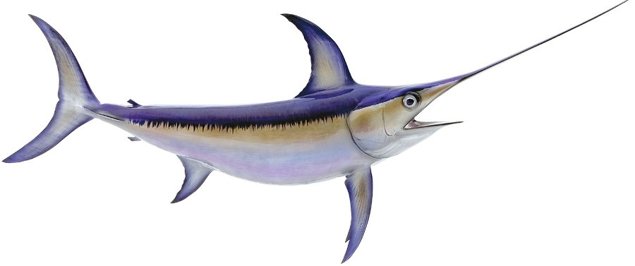 Northern Pacific Swordfish stocks are not overfished or experiencing overfishing