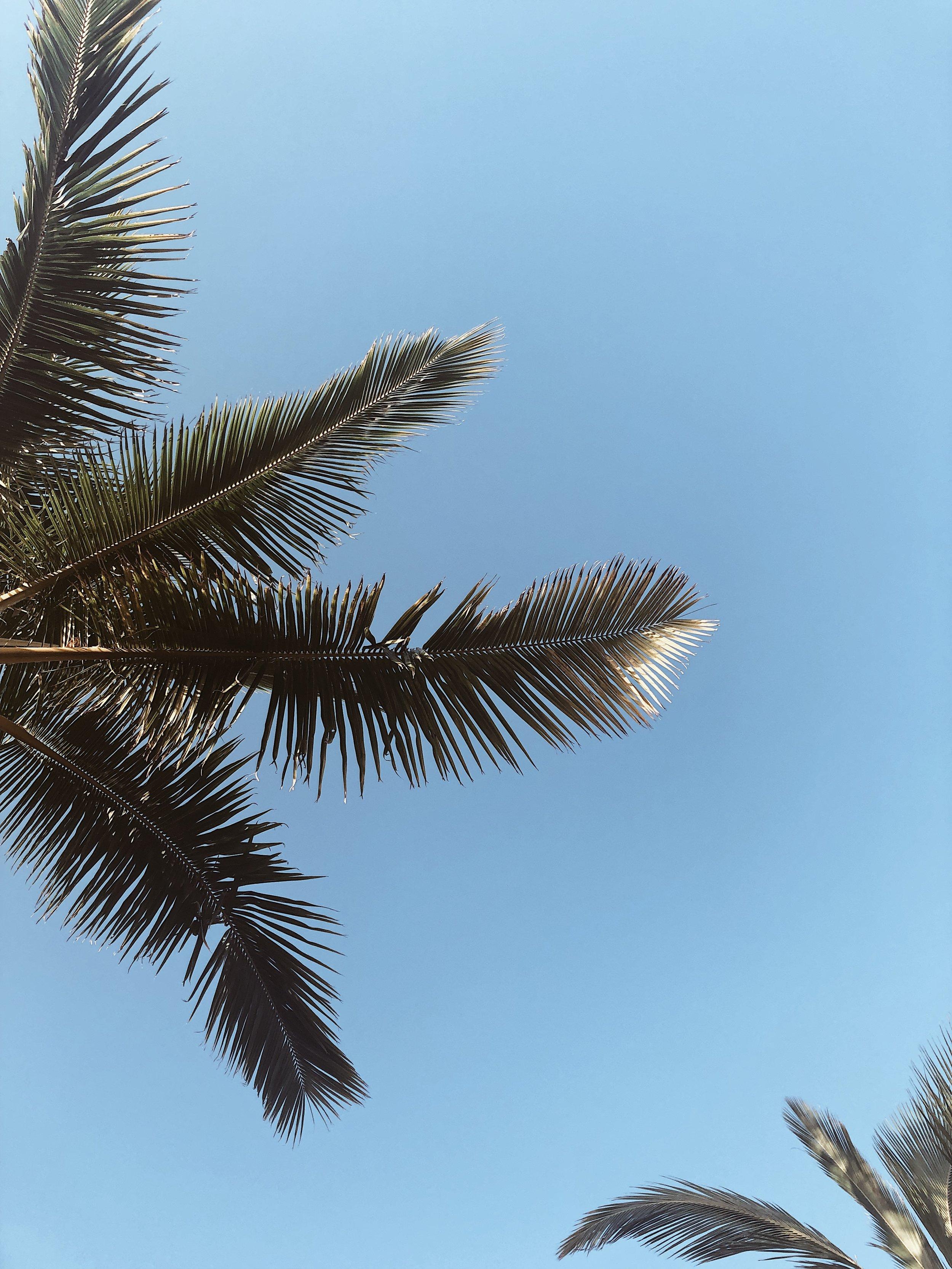 Maui Palm Tree