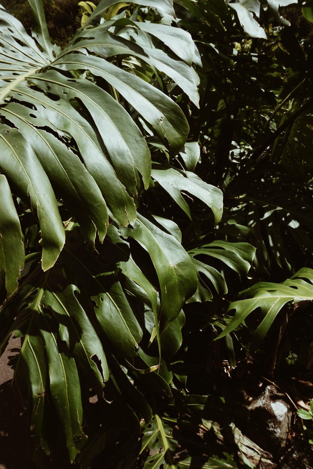 monstera leaves maui hawaii Iao valley