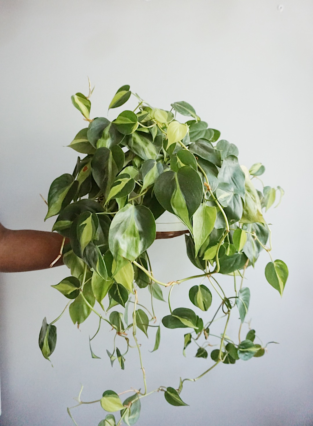 philodendron easy beginner plant