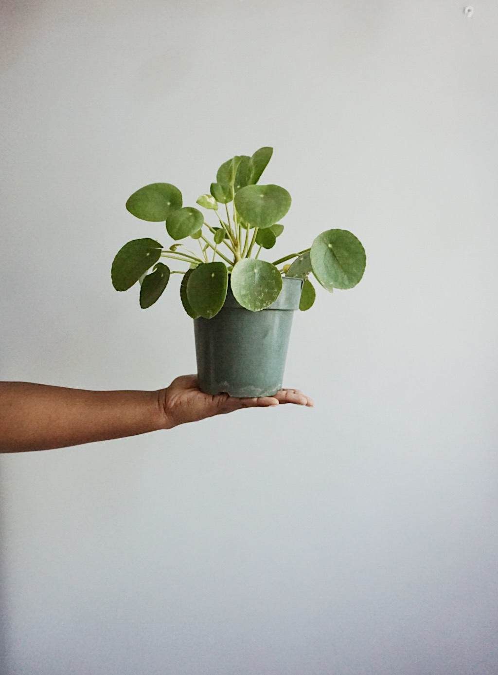 pilea peperomioides Chinese money plant easy beginner plant